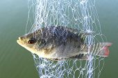 Small tilapia fish trapped in trawl near river poster