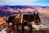 Mules Climbing up with Goods in Grand Canyon National Park in Arizona, United States poster