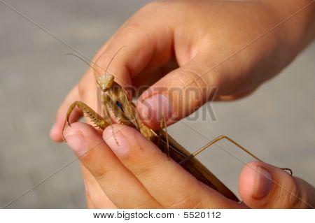 Mantis In Hands