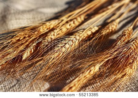 Wheat on canvas background