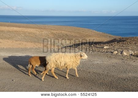 Sheep on the road. Canary Island Fuerteventura Spain poster