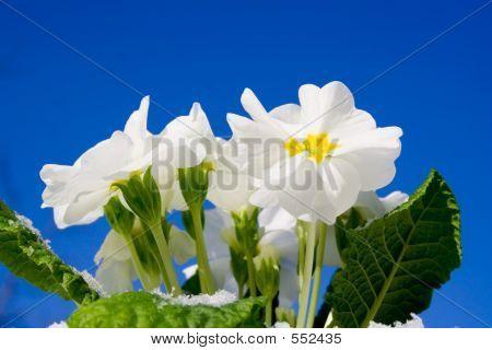 White Flowers Against The Sky