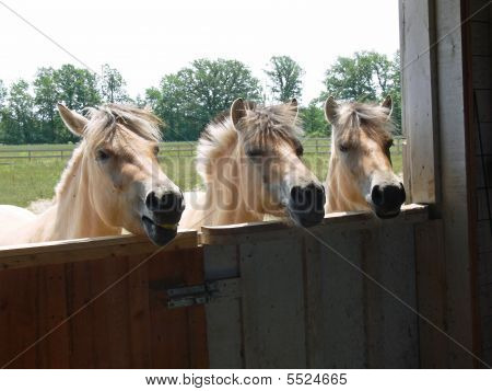 Norwegian Fjord Horses  Three Looking In Barn poster