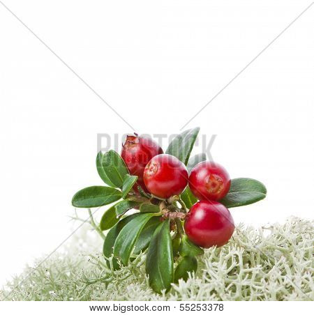 Cranberry Cowberry bush close up on Moss Reindeer isolated on white
