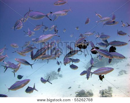 Spawning fusiliers