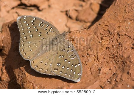 A Guineafowl Butterfly (Hamanumida daedalus) obtaining moisture from mud poster