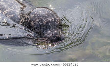 Harbor Seal In Glittering Water
