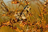 Fieldfare bird sitting in a tree on a branch poster