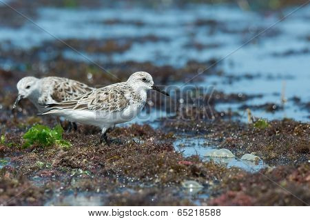2 Sanderlings (Caladris alba) standing on a seaweed strewn beach poster