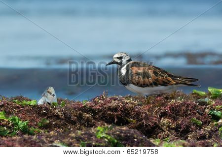 A Ruddy Turnstone (arenaria Interpres) That Has Found A Fish Head In The Seaweed