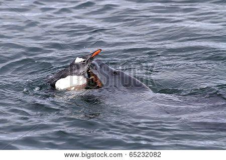 Leopard Seal That Attacks Gentoo Penguin