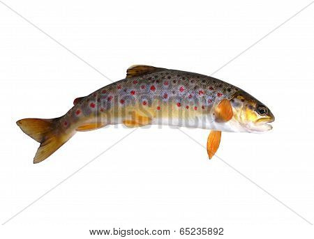 stream trout