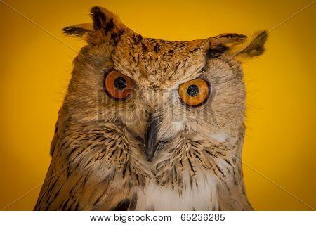 Face, eagle owl in a sample of birds of prey, medieval fair