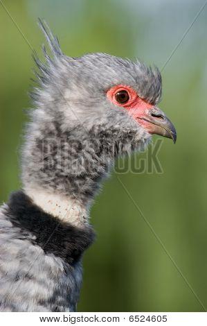 close up of a Wehrvogel (Chauna Torquata)