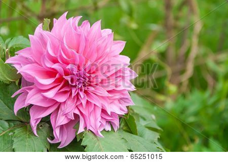Pink Flowers With Green Background.