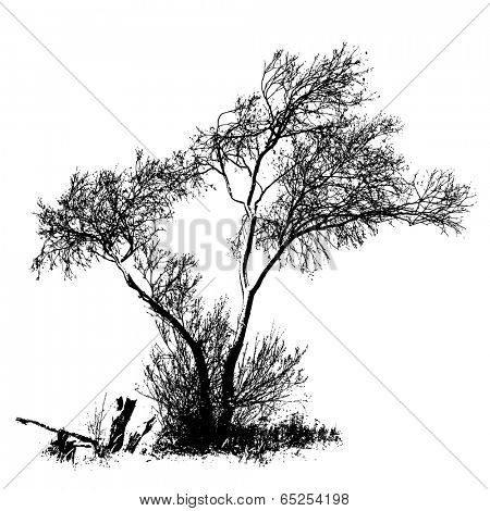 Willow tree, full size isolated silhouette, vector
