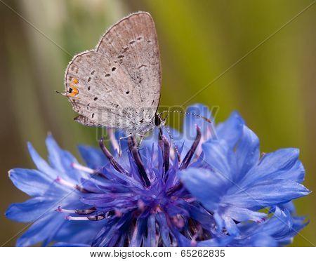 Diminutive Eastern Tailed Blue butterfly feeding on a blue Cornflower in spring