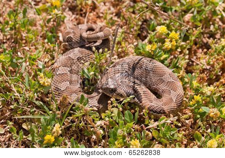 Western Hognose snake, partially coiled, resembling a rattlesnake, camouflaged in grass