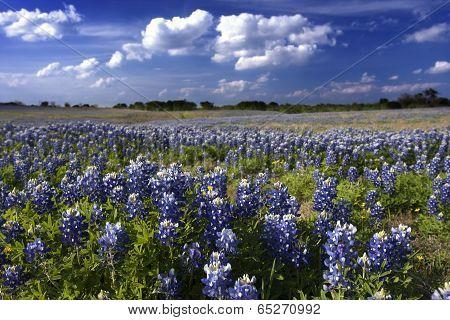 Bluebonnet Splendor