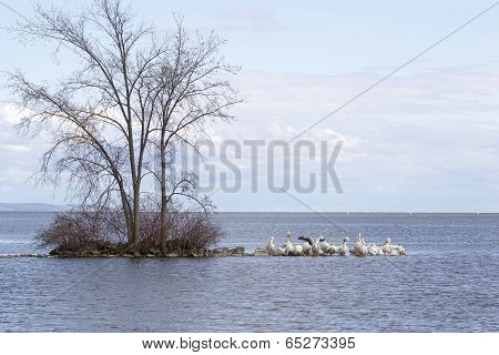 Pelicans cover the rocks on a Peninsula with one lone tree. The American White Pelicans are in breeding season on Lake Winnebaog in Wisconsin. poster