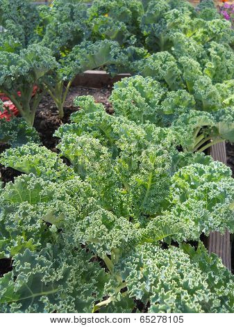 Curly Kale Garden Plants