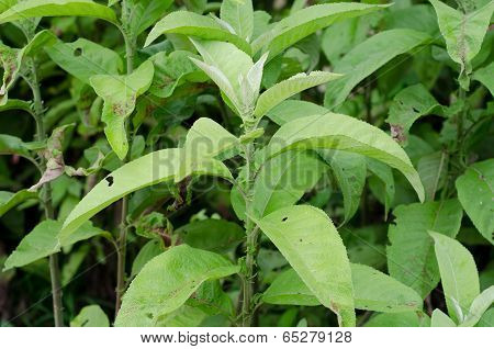 Ngai Camphor (the Herb Is Used To Extract Camphor)