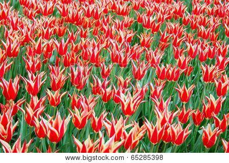 Istanbul Tulip