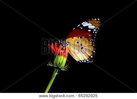Monarch butterfly from Mauritius
