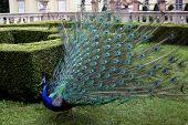 peacock in the garden poster