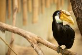 Portrait of Hornbill with yellow beak (Rhyticerous plicatus) poster
