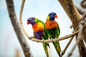 Parrot couple with red beak poster