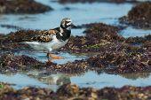A Ruddy Turnstone (Arenaria interpres) wading amongst seaweed poster