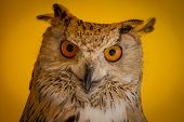 Face, eagle owl in a sample of birds of prey, medieval fair poster