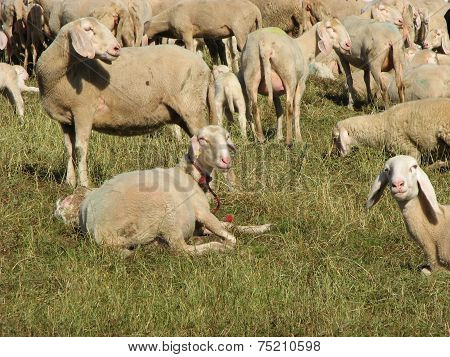Large Flock Of Sheep Grazing In Mountain Meadow