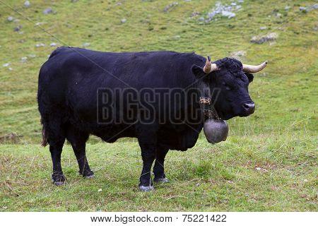 Black Swiss Cow