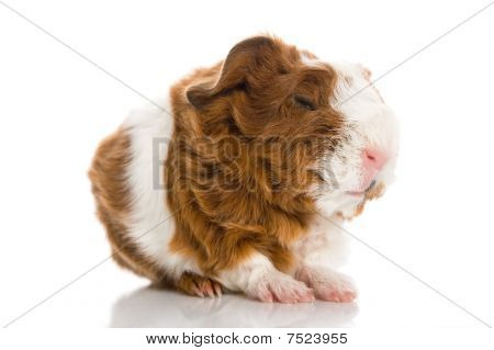 Newborn Guinea Pig. Texel. isolated on the white poster