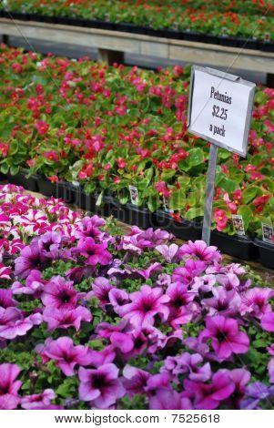 Petunias for sale