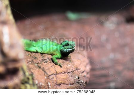 Chinese Water Dragon At Terrarium