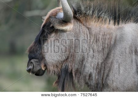 Black Wilderbeest Portrait