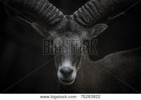 Cyprus Mouflon Portrait