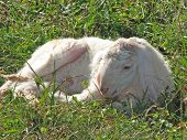 Young Lamb with the soft white wool on the lawn poster