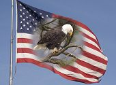 A bald eagle and the flag that represent freedom in America. poster