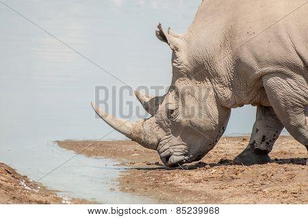 Rhinoceros  At Water