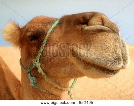Great camel headshot