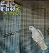 A frustrated Cockatoo hangs on its cage wall under the sign warning that it bites. poster