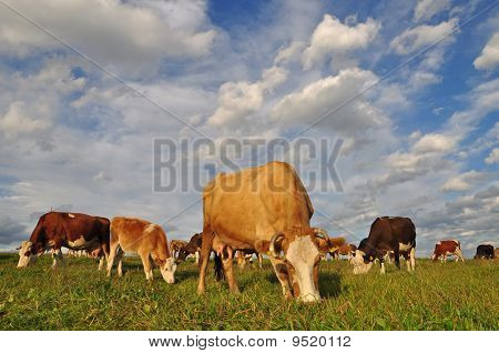 poster of Cows on a summer pasture in a rural landscape under cloud