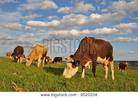 poster of Cows on a summer pasture in a rural landscape under clouds.
