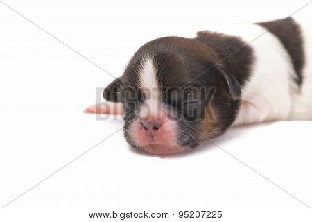 One Little Shih Tzu Dog Is Sleeping