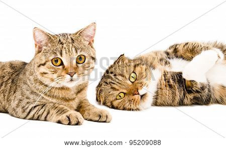 Portrait of two cats Scottish Straight and Scottish Fold