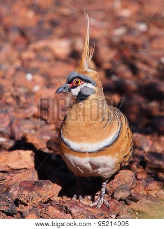 Spinifex pigeon in the outback